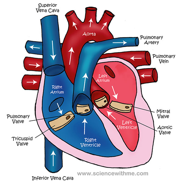 human heart diagram for kids, Muscles