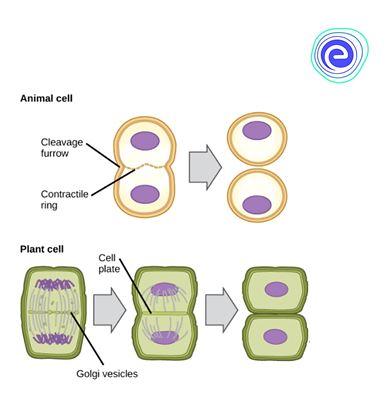 Cytokinesis: (Cytos - hollow or cell, here cytoplasm, kinesis - division)