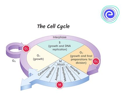 Cell Cycle and Continuation of Life