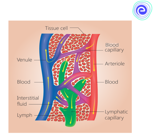 Lymph and Lymphatic capillaries