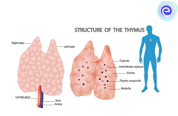 Lymphoid Organs