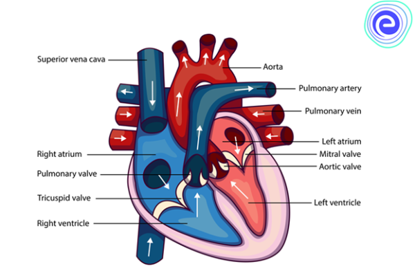 Double Circulation of Blood: Definition, Diagram, Importance