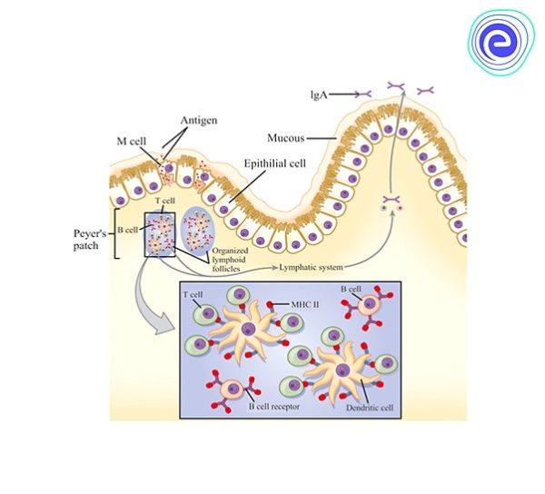 Mucosal Associated Lymphoid Tissue (MALT)
