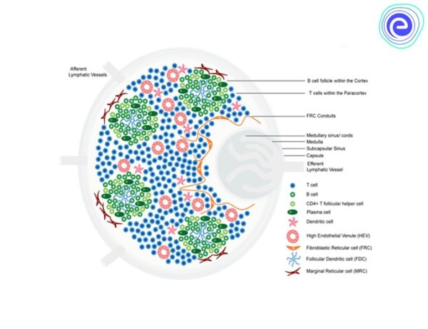 Tertiary Lymphoid Structure in Cancer