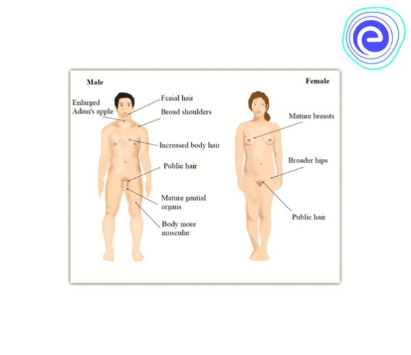 Secondary Sexual Characteristics of Human Male and Female