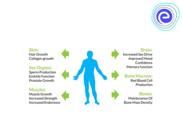 Roles of Testosterone Hormone