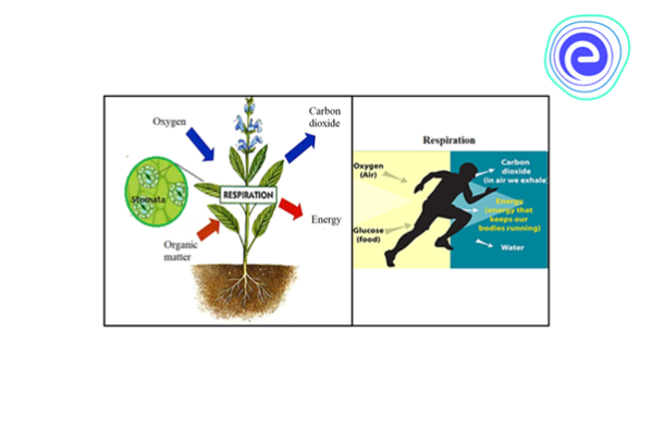Respiration in Plants & Human