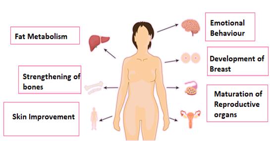 Functions of Estrogen