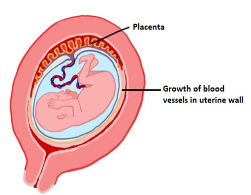 Functions of Progesterone